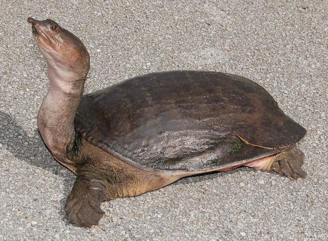 ?M_為什么甲魚養不好?這就是原因-水產養殖實用系列之鱉的飼養
