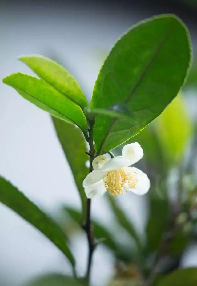 扎心了 很多人不知道,龙井茶每年秋冬会开花