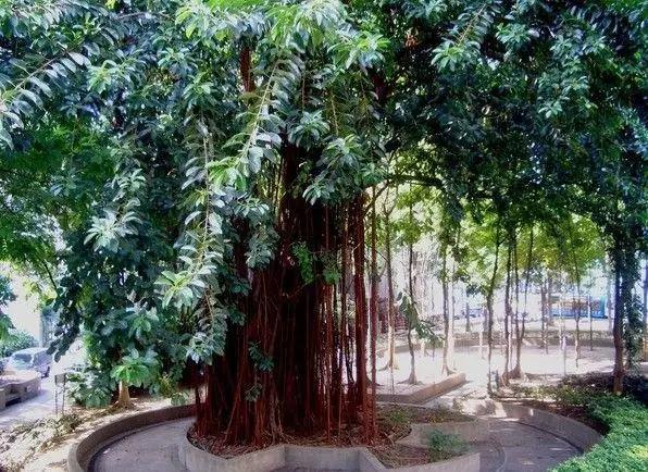 菩提树之血脉探寻