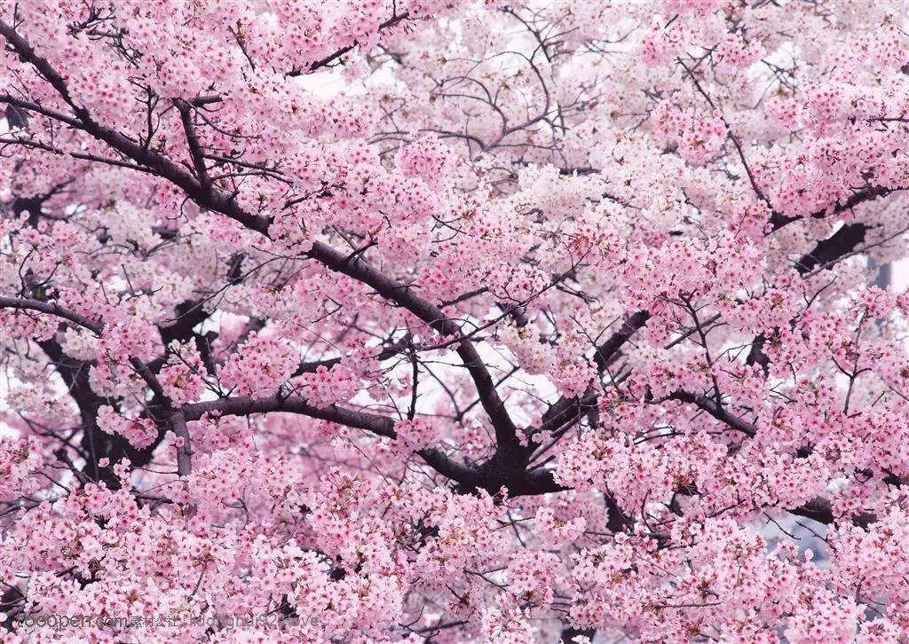 為無量山增加了一道亮麗的風景,櫻花谷也成為獨具特色的生態茶園,吸引