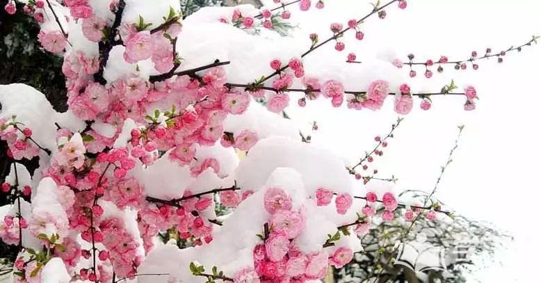 """""""冰雪林中着此身,不与桃李混芳尘""""指的就是雪中的梅花图片"""