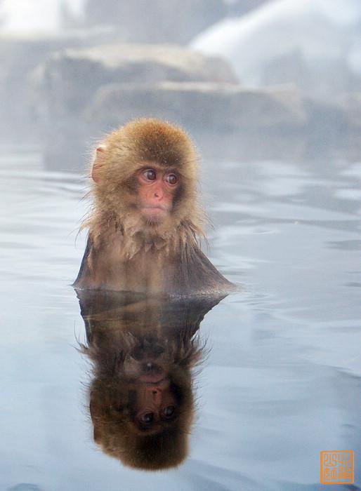 在日本地狱谷,有一群爱泡温泉的雪猴图片