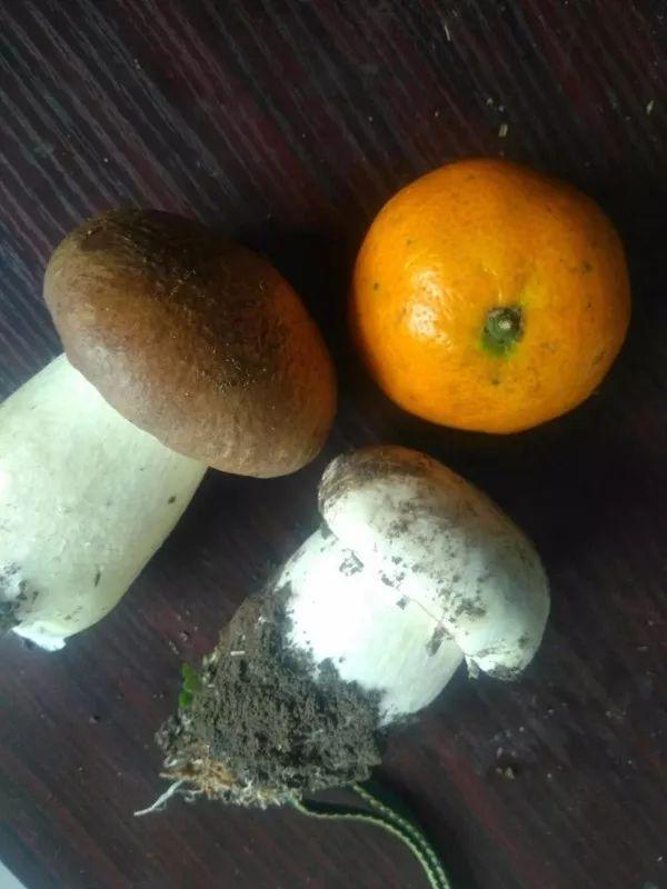 泸州发现国内首朵白色大球盖菇 为菌类最高品质
