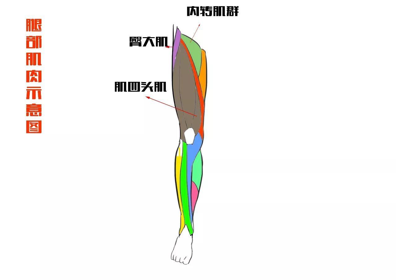 绘画 教程 腿部画法之肌肉的认识