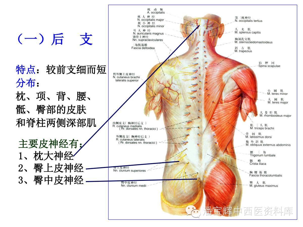腰椎神经支配分布图