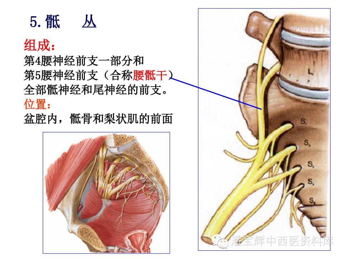 脊柱神经支配分布图