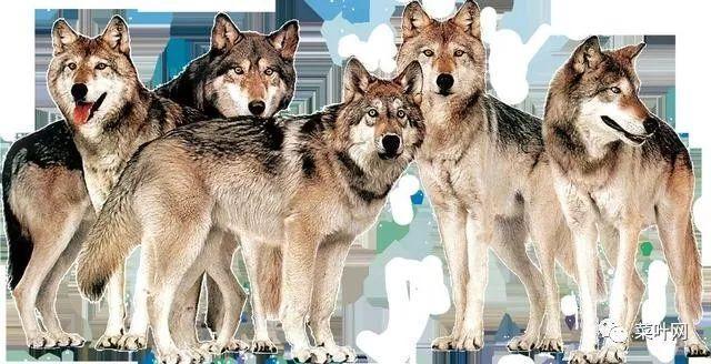 做梦梦见把狼打死是什么意思