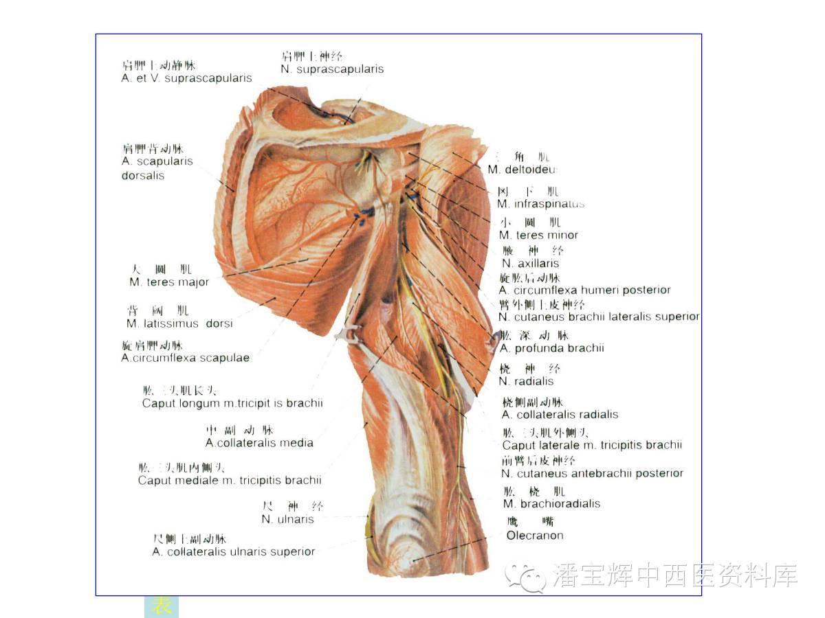 下肢皮神经支配分布图