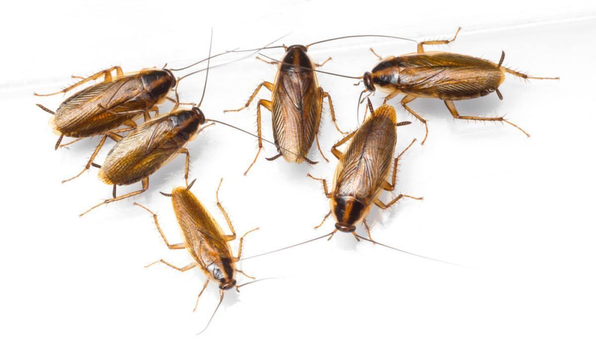 蟑螂是长什么样子的。
