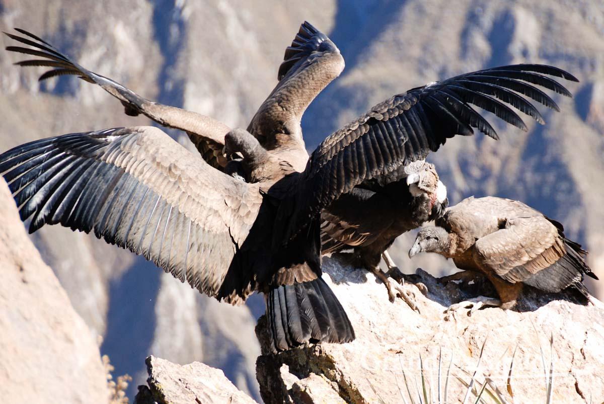 动物的尸体是安第斯神鹫的主要食物.