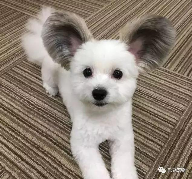最漂亮的狗_世界上最漂亮的狗长这样