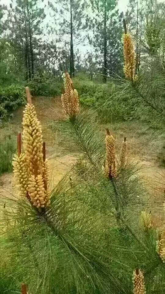 教育 正文  因为味道鲜美,千岛湖周边都是松树,每当松树开花,花粉随风