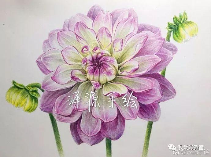 彩铅手绘--一朵美美的【花卉】