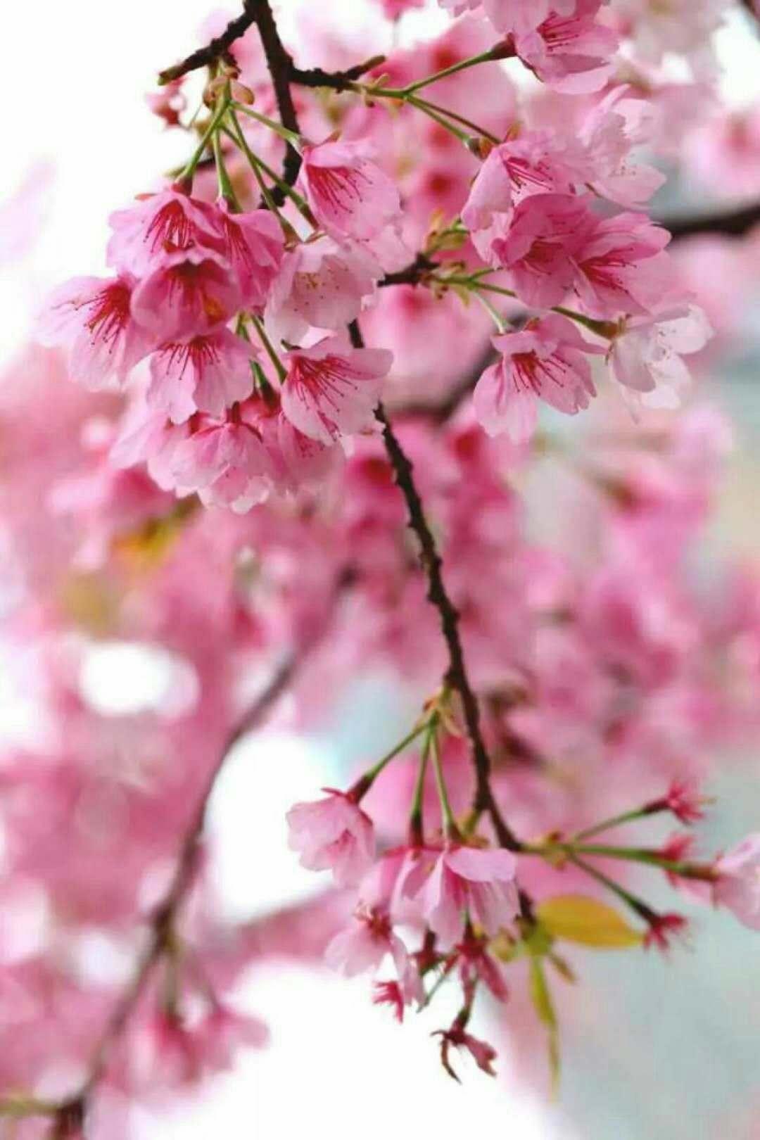 每次樱花落了满院 总看不见你的脚步 让我怎能不忧伤 满地的粉红 总不肯扫去 每一片都是我对你的期盼 樱花飘落 一个人早已习惯 你来与不来 我不想再过问结果 只想在院中安静的站着 看每次的花开花落 那一片不都是你的缩影