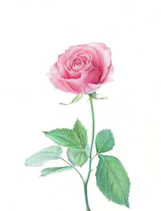 彩铅老年大学048|彩铅手绘玫瑰花彩铅手绘玫瑰花