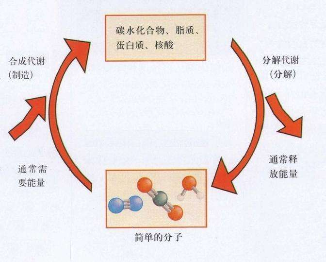 作用_合成代谢(同化作用)