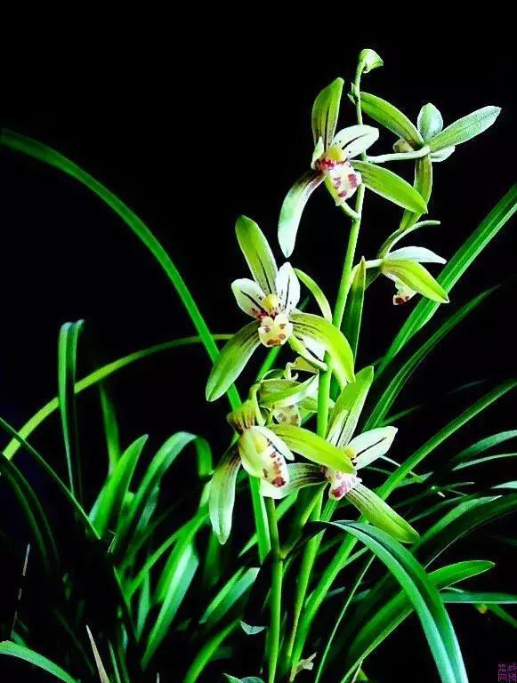 中国自古以来对兰花就有看叶胜看花之说.图片