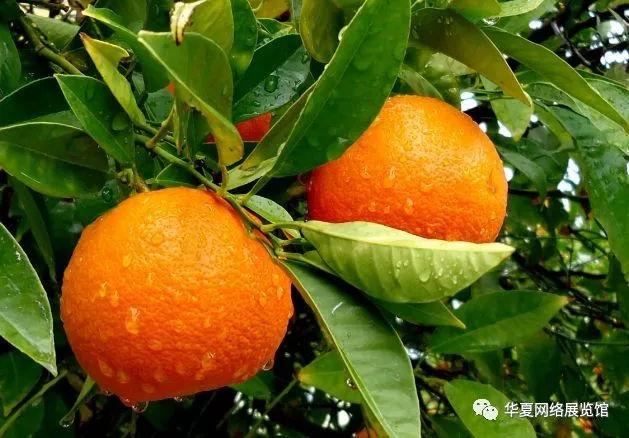 信丰老师v老师高中脐橙吗会图片