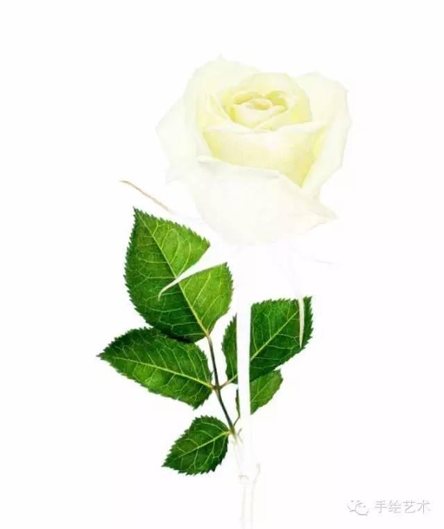 玫瑰花彩铅画绘画教程 油性彩色铅笔画白玫瑰花的步骤