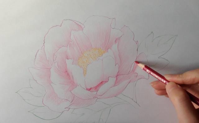 彩铅 画一朵盛放的牡丹花