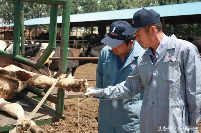 导致牛舍湿度过大,进而则会诱发腐蹄病,蹄叶炎等肢蹄疾病.