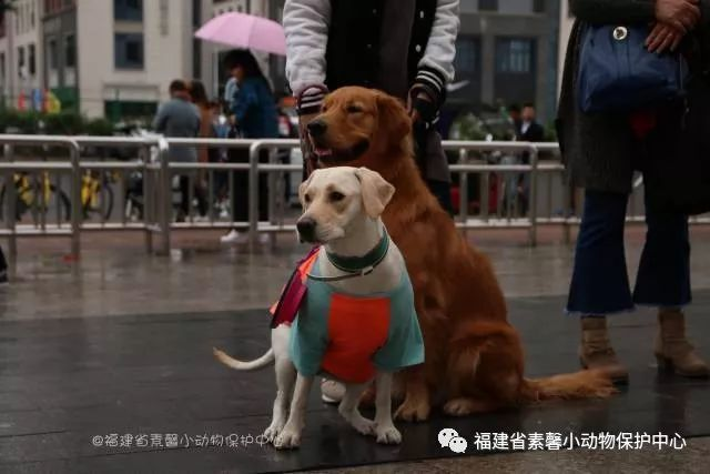 郑小迪 参赛宣言:我就是我,不一样的拉布拉多 十一号 狗狗名字:小馒头图片