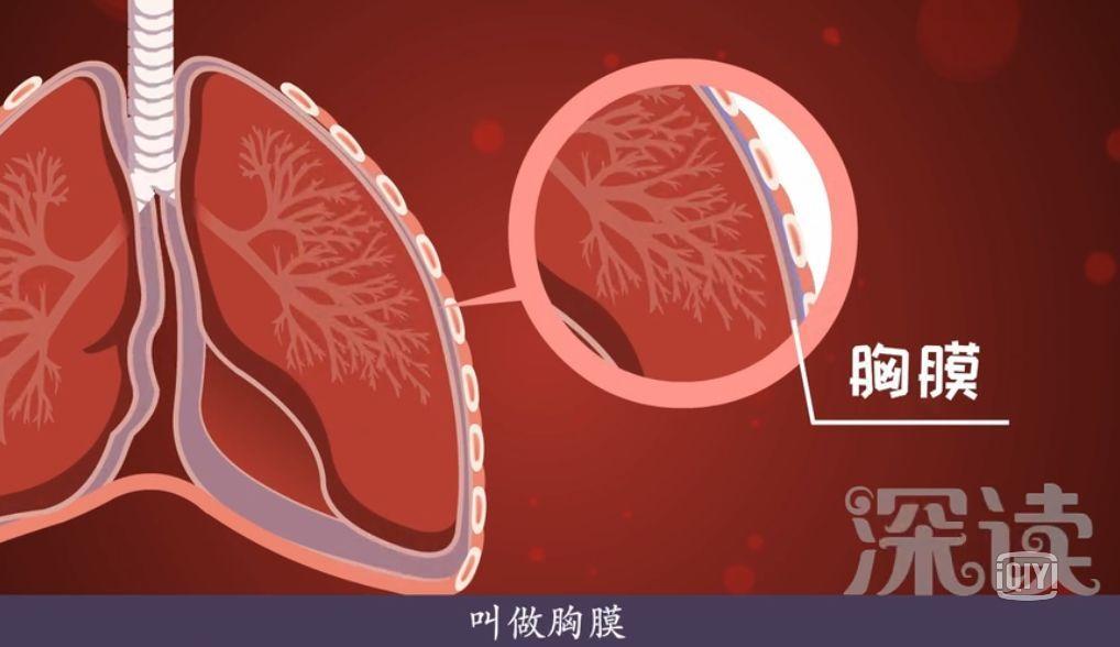 在我们非的表面有胸膜,以及胸膜腔将肺泡保护起来.