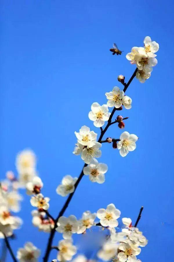 赏花啦!百节乌梅花美出了天际,隔着屏幕都能闻到花香!(内附美图)
