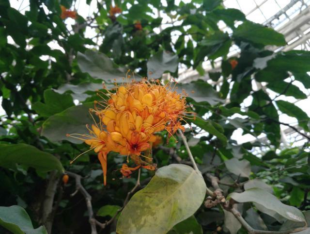 栽种将近10年 香港特别行政区区花终于在郑州盛开