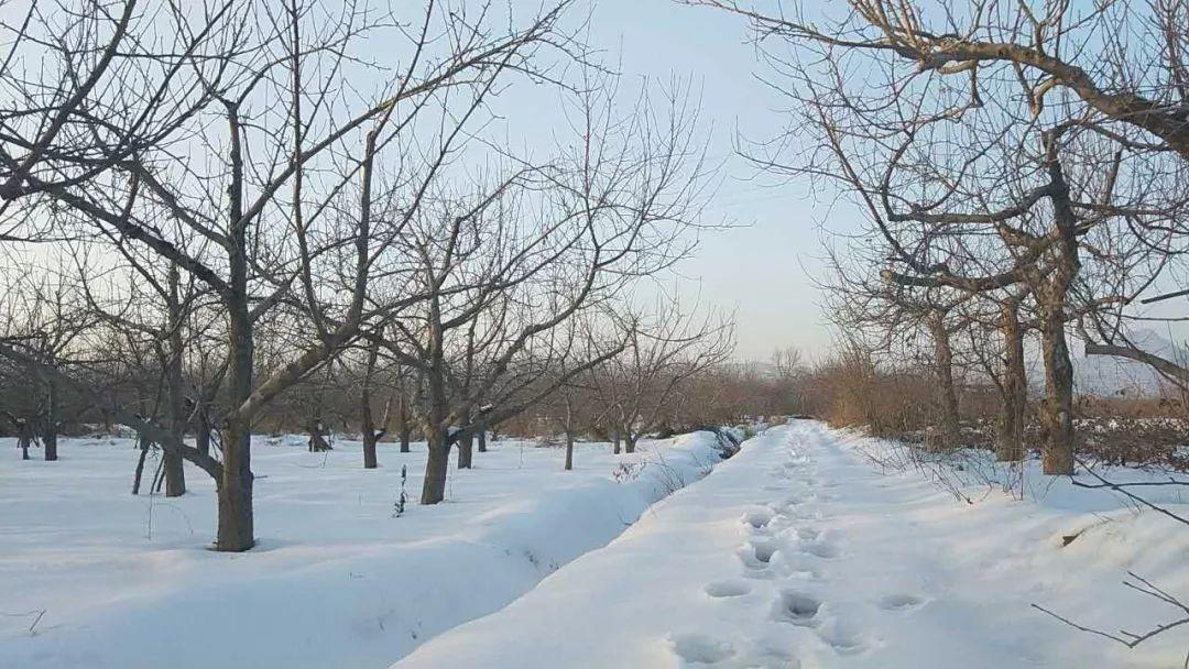 暴雪无情!百万斤800年历史的小河御梨滞销告急,马上新春将至,梨农请求援助