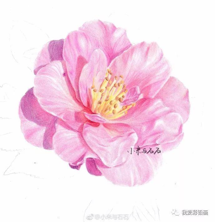 彩铅手绘-山茶花