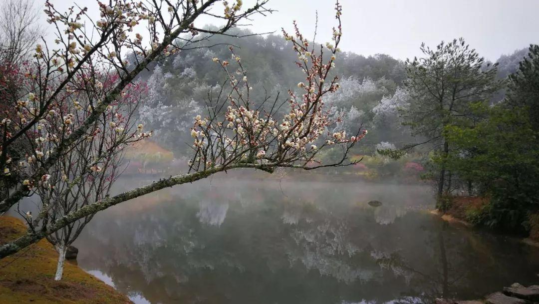 一夜之间郁郁葱葱的山林竟银丝满枝头雾凇映衬着梅花山虎园的红梅