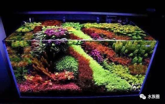 短鲷缸藻类