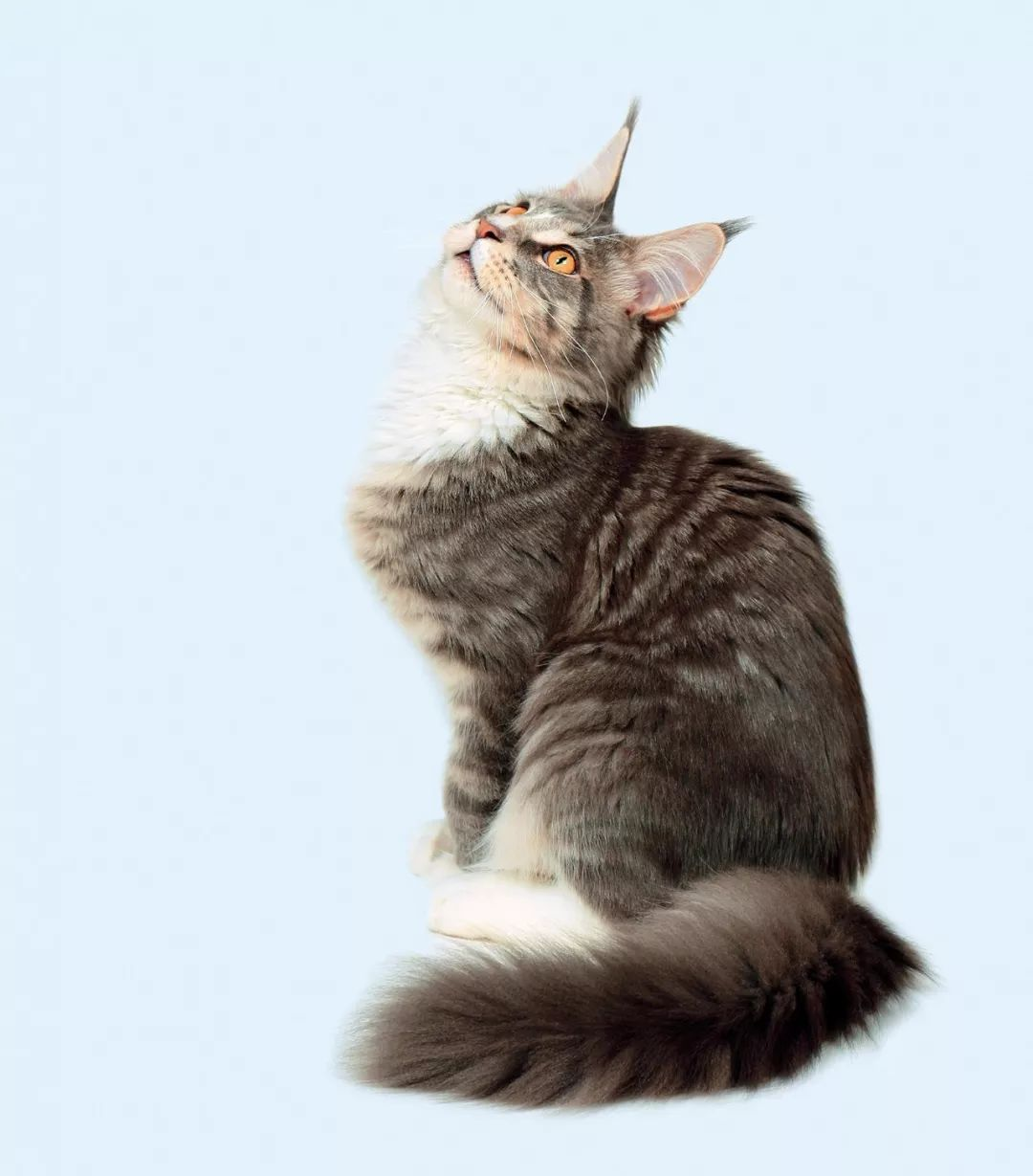 缅因库恩猫图片图片