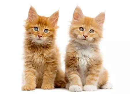 缅因库恩猫多少钱一只图片