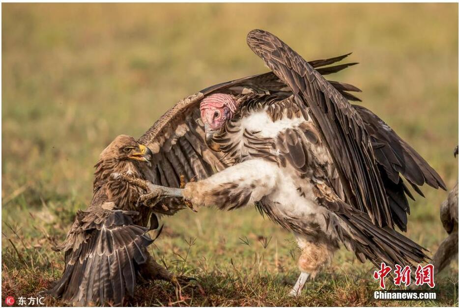 非洲性爱狠狠_非洲秃鹫与鹰陷入夺食大战 无影脚狠踢对手
