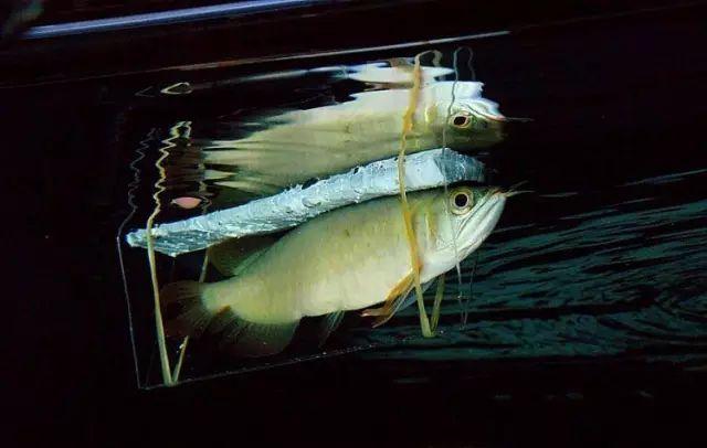 治疗夹板的具体结构图片,上部为一块宽度大小相宜的白泡沫,两侧夹板为亚克力板,用橡筋捆好调整好内部空间大小,将鱼轻轻从后部送入。内部空间以刚好固定为准,但不能太窄夹住鱼体。鱼眼以前露出夹板确保呼吸,几天的复位漂浮治疗后,恢复体力的鱼能自行从夹板中游出来。