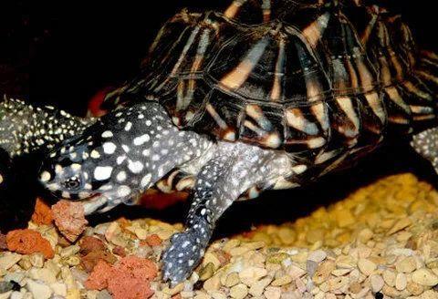 龟头部宽大吻钝头颈均为黑色布有白色杂斑点背甲黑色有大块