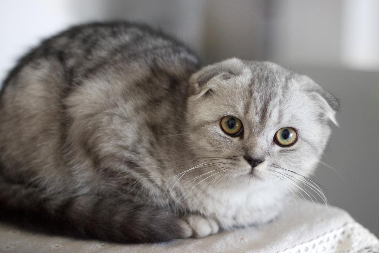 我为什么不推荐你养苏格兰折耳猫,因为它有这些遗传病