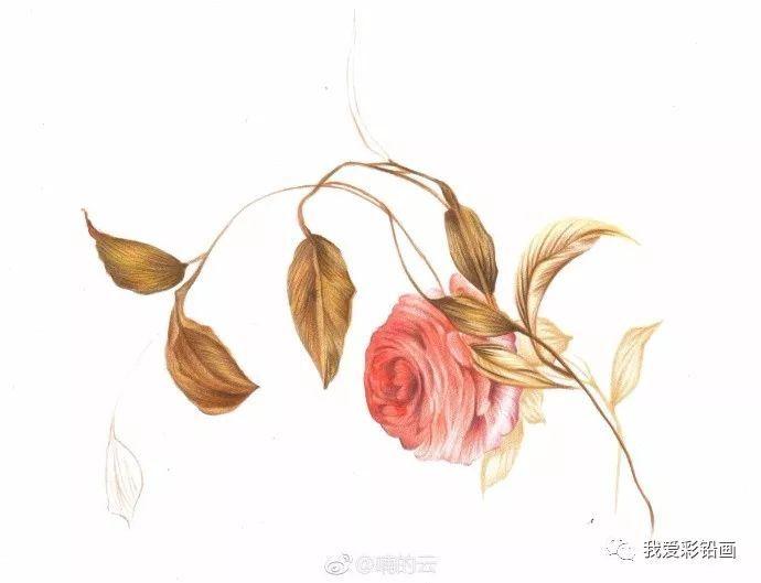 彩铅手绘--花卉