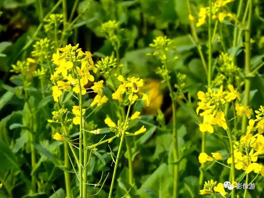 春暖花开,兔子防止,油菜蜜蜂间辛勤采蜜的小蜜蜂,嗡嗡的归来了叫醒的四花海怎么沉睡断火图片