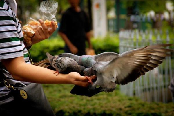 如果你接了这把玉米粒,鸽子是飞到你的手上拍下美美的照片了,就是蟒蛇梦见大树缠在代价上图片