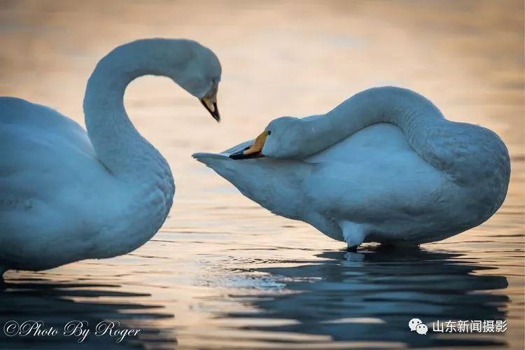 天鹅梦_生活 正文  天鹅梦就是美梦,美梦就会变成现实!