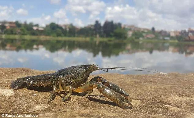 克隆自己疯狂繁衍的小龙虾肆虐多国 科学家:可用它研究癌症