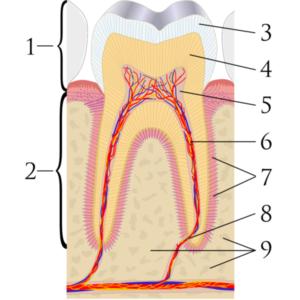 干细胞填充物可重生受损牙髓,10 年内向根管治疗说再见