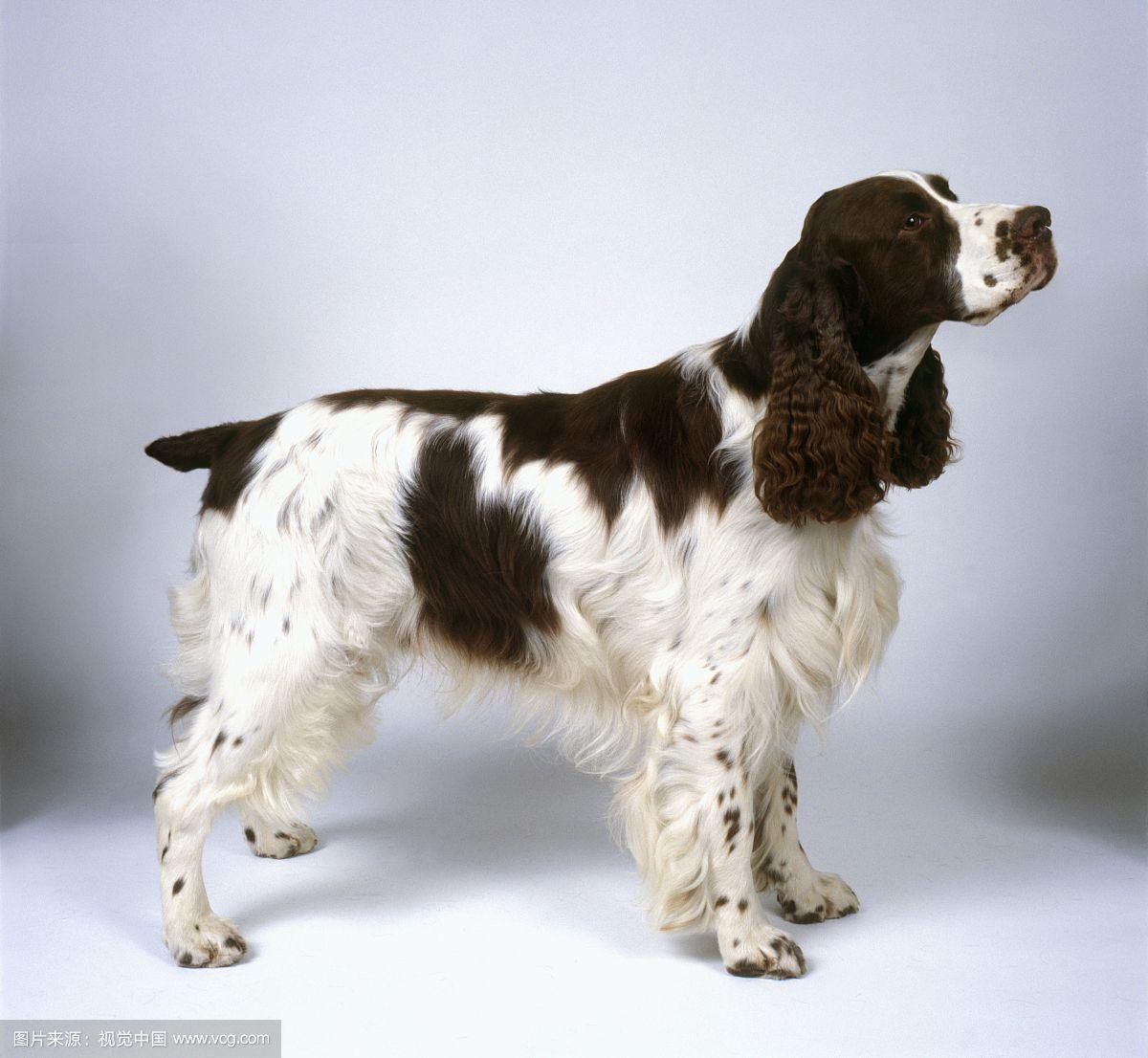 黑色史宾格犬图片