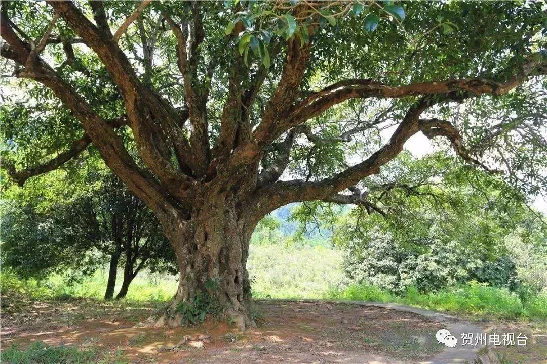 5米的桂花树在众多古树中脱颖而出.