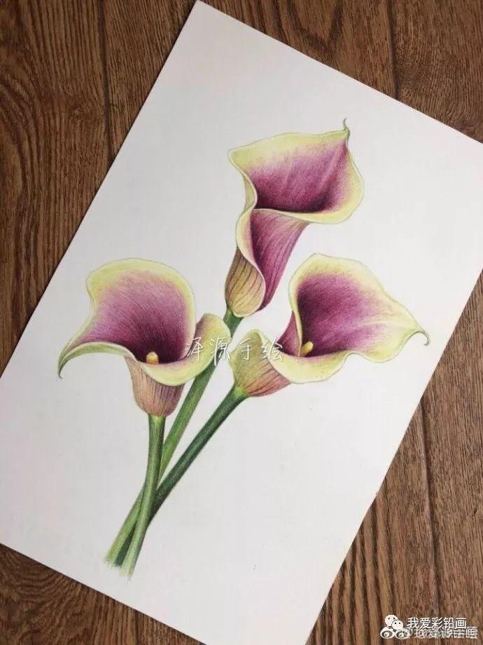 彩铅手绘—马蹄莲