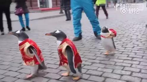 萌化了!穿唐装背书包,企鹅一家三口逛中央大街
