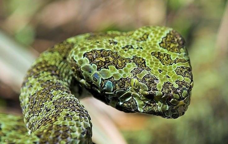 中国独有的珍稀毒蛇和蛇博士的故事